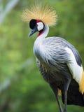 Beautiful Grey Crowned Crane bird Stock Photos