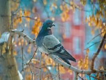 Beautiful grey dove on tree branch Royalty Free Stock Image