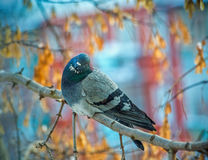 Beautiful grey dove on tree branch Royalty Free Stock Photos