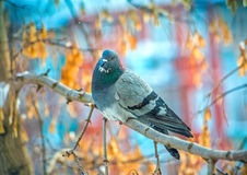 Beautiful grey dove on tree branch Royalty Free Stock Images