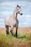 Beautiful grey Dutch Warmblood horse on a field Stock Photography