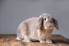Beautiful grey easter bunny Royalty Free Stock Image
