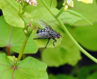 White fly on leaf , Lithuania. Beautiful grey fly on plant leaf in summer royalty free stock images