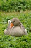 Grey Goose. Beautiful grey goose relaxing in the green. She enjoys her break Stock Photos