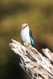 Beautiful grey headed kingfisher with beautiful background Stock Photos