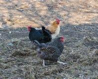 Beautiful grey hens on barnyard. Poultry farm. Gray chicken walkinng in a farm garden.  stock photo