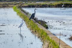 Beautiful grey heron Ardea cinerea prostrate in the rice fields of the natural park of Albufera, Valencia, Spain royalty free stock photos