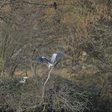 Beautiful Grey Heron Ardea Cinerea wild bird nesting in Winter bare trees. Grey Heron Ardea Cinerea wild bird nesting in Winter bare trees royalty free stock images