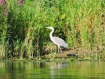 White heron bird resting on tree branch, Lithuania Stock Image