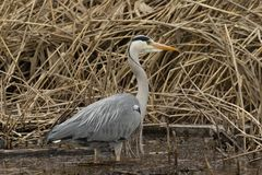 Grey heron hunting for fish royalty free stock photo