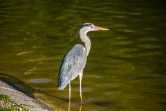 Beautiful grey heron in the pond. stock image