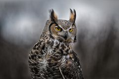 Beautiful Grey horned owl Royalty Free Stock Photography