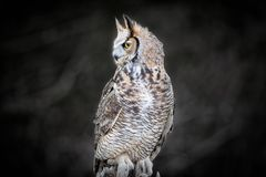 Beautiful Grey horned owl Royalty Free Stock Photo