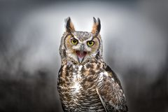Beautiful Grey horned owl Royalty Free Stock Images