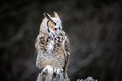 Beautiful Grey horned owl Royalty Free Stock Image