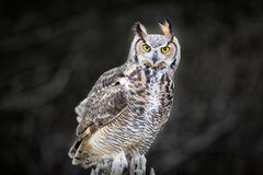 Beautiful Grey horned owl. A close up of a beautiful Grey horned owl sitting on a tree stock image
