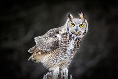 Beautiful Grey horned owl Stock Photo
