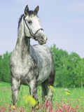 Beautiful grey horse in blossom field Royalty Free Stock Images