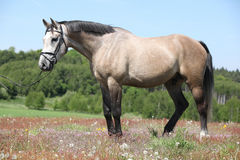 Beautiful grey horse with bridle in flowered nature Stock Image