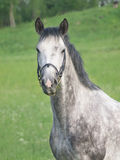 Beautiful grey horse in green field Stock Image
