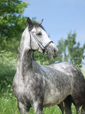 Beautiful grey horse in green field Stock Photography