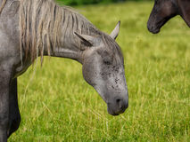 Beautiful grey horse in a meadow. A beautiful grey horse in a meadow Stock Photo