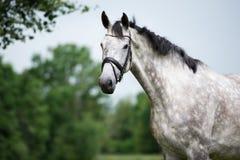 Beautiful grey horse posing outdoors Stock Photography