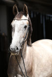 Beautiful grey horse standing in front of the stable Royalty Free Stock Image