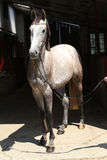Beautiful grey horse standing in front of the stable Stock Photography