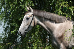 Beautiful grey horse standing in nature Royalty Free Stock Photo
