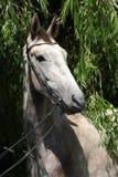 Beautiful grey horse standing in nature Stock Photo