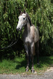 Beautiful grey horse standing in nature Stock Images