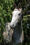Beautiful grey horse standing in nature Royalty Free Stock Photos