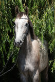 Beautiful grey horse standing in nature Royalty Free Stock Photography