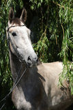 Beautiful grey horse standing in nature Stock Image
