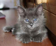 Beautiful grey kitten with blue eyes Royalty Free Stock Images