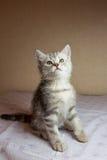 Beautiful grey kitten. British shorthair cat. Royalty Free Stock Photo