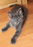 Beautiful grey little kitten Stock Images