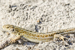 Beautiful grey lizard Stock Image