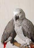Beautiful grey parrots Stock Photography