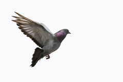 Beautiful grey pigeon in flight. Beautiful grey pigeon flying, white background royalty free stock photography