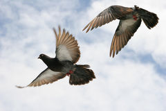 Beautiful grey pigeon in flight. Composite of a beautiful grey pigeon in flight. Two differing wing and body positions royalty free stock images