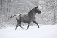 Beautiful grey pony running in winter