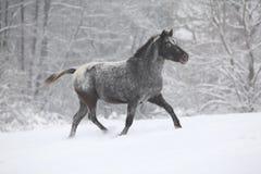 Beautiful grey pony running in winter Stock Image