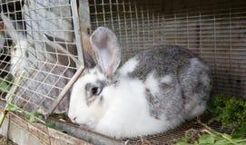 Beautiful grey rabbit in a cage. Farm Stock Photo
