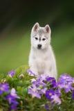 Beautiful grey siberian husky Royalty Free Stock Photo