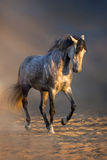 Beautiful grey stallion dressage Stock Photography