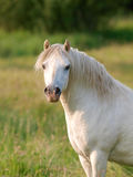 Beautiful Grey Stallion Royalty Free Stock Image