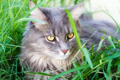 Beautiful Grey Tabby Cat Stock Photo