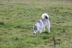 Cute Husky dog walks in a field. Beautiful grey and white short haired pure breeded husky dog doggie doggy pup puppy pet animal smell something and follow it in royalty free stock image